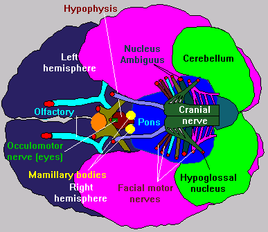 Sensory input to the brain understanding context this is a bottom view of the human brain showing the nerves that control facial expression it also shows the sources of motor control of the eyes mouth ccuart Gallery