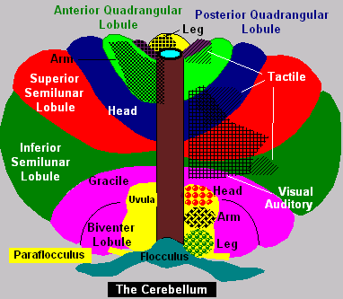 Varieties Of Neural Circuits In The Cerebellum