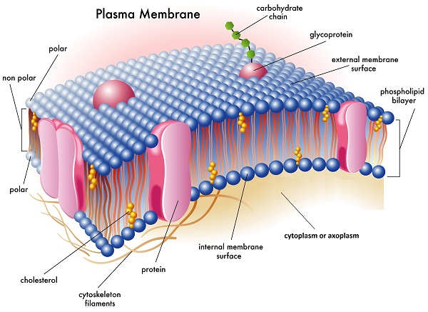 plasma membrane and its importance in All living cells have a plasma membrane that encloses their contents in prokaryotes, the membrane is the inner layer of protection surrounded by a rigid cell wall.