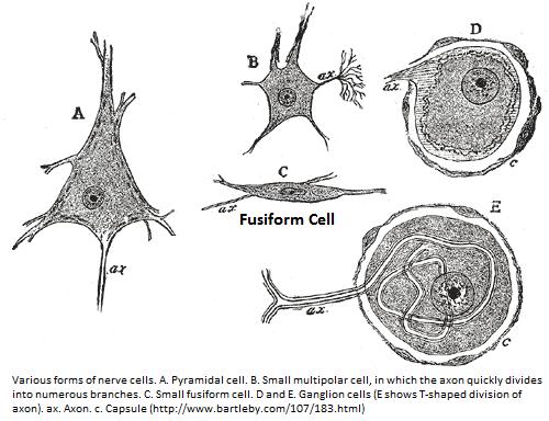 Fusiform Cell Morphology