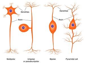 Varieties of Nerve Cells - Understanding Context