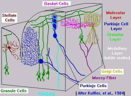 Cerebellum Layers